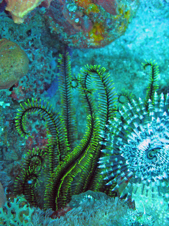 Golden Crinoid & Magnificent Feather Duster